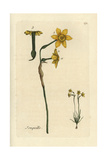 "Jonquil  Narcissus Jonquilla  From Pierre Bulliard's ""Flora Parisiensis "" 1776  Paris"