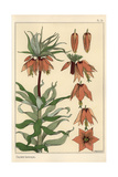 Botanical Illustration of the Crown Imperial Flower  Fritillaria Imperialis