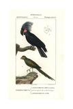 Palm Cockatoo  Probosciger Aterrimus  And Eastern Ground Parrot  Pezoporus Wallicus