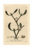 Mistletoe  Viscum Album  From William Baxter's British Phaenogamous Botany  1834
