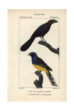 Smoothbilled Ani And White-tailed Trogon