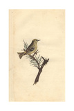Golden Crested Wren From Edward Donovan's Natural History of British Birds  1799
