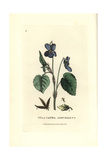Dog's Violet  Viola Canina  From William Baxter's British Phaenogamous Botany  1834