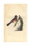 Dartford Warbler From Edward Donovan's the Natural History of British Birds  London  1794-1819
