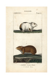 Guinea Pig And Rock Cavy From Frederic Cuvier's Dictionary of Natural Science: Mammals