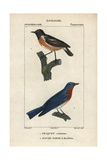 Wheatear And Bluebird From Sainte-Croix's Dictionary of Natural Science: Ornithology