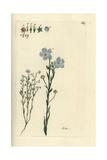"""Flax  Linum Usitatissimum  From Pierre Bulliard's """"Flora Parisiensis """" 1776  Paris"""