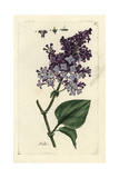 "Lilac  Syringa Vulgaris  From Pierre Bulliard's ""Flora Parisiensis "" 1776  Paris"