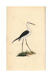 Stilt From Edward Donovan's Natural History of British Birds  London  1799