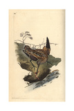 Snipe From Edward Donovan's Natural History of British Birds  London  1817