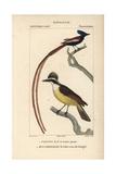 Kiskadee And Asian Paradise Flycatcher