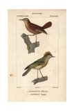 Wren And Goldcrest From Sainte-Croix's Dictionary of Natural Science: Ornithology
