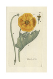 "Yellow Hornpoppy  Glaucium Flavum  From Pierre Bulliard's ""Flora Parisiensis "" 1776  Paris"