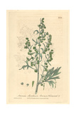 Wormwood  Artemisia Absinthium  From William Baxter's British Phaenogamous Botany  Oxford  1839