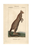 Eastern Grey Kangaroo From Frederic Cuvier's Dictionary of Natural Science: Mammals  Paris  1816