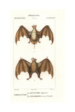 Egyptian Free-tailed Bat  Tadarida Aegyptiaca  And Red Fruit Bat  Stenoderma Rufum