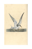 Lesser Tern From Edward Donovan's Natural History of British Birds  London  1799