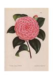 Pink Camellia Hybrid