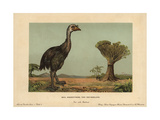 Moa  Dinornis Novaezealandiae  Extinct Giant Bird of New Zealand