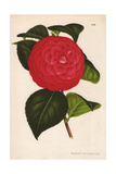 Crimson Camellia Hybrid