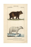 Brown Bear And Polar Bear From Frederic Cuvier's Dictionary of Natural Science: Mammals