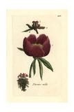 "Common Peony  Paeonia Officinalis  From Pierre Bulliard's ""Flora Parisiensis "" 1776  Paris"
