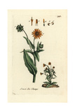 "Field Marigold  Calendula Arvensis  From Pierre Bulliard's ""Flora Parisiensis "" 1776  Paris"