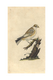 Tawny Bunting From Edward Donovan's Natural History of British Birds  1799