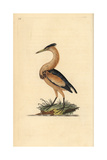 Little Bittern From Edward Donovan's Natural History of British Birds  London  1799