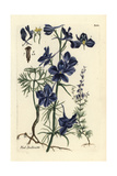 "Forking Larkspur  Consolida Regalis  From Pierre Bulliard's ""Flora Parisiensis "" 1776  Paris"