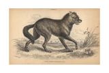 North American Prairie Wolf Or Coyote