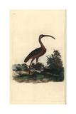 Glossy Ibis From Edward Donovan's Natural History of British Birds  London  1799