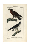 Buzzard And Hawk From Sainte-Croix's Dictionary of Natural Science: Ornithology  Paris  1816-1830