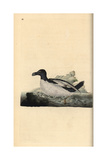 Razorbill From Edward Donovan's Natural History of British Birds  London  1799