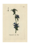 "Clustered Bellflower  Campanula Glomerata  From Bulliard's ""Flora Parisiensis "" 1776  Paris"