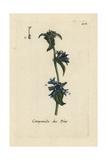 "Clustered Bellflower  Campanula Glomerata  From Bulliard's ""Flora Parisiensis "" 1776  Paris"
