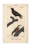 Starling And Nuthatch From Sainte-Croix's Dictionary of Natural Science: Ornithology