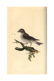 Spotted Flycatcher From Edward Donovan's Natural History of British Birds  London  1816