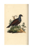 Wood Grouse From Edward Donovan's Natural History of British Birds  London  1799
