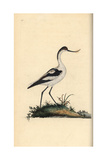 Pied Avocet From Edward Donovan's Natural History of British Birds  London  1799