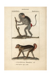 Hamadryas Baboon And Macaque From Frederic Cuvier's Dictionary of Natural Science: Mammals