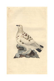 Ptarmigan Grouse From Edward Donovan's Natural History of British Birds  London  1794-1819