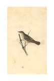 Sedge Warbler From Edward Donovan's Natural History of British Birds  1799