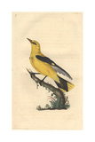 Golden Oriole From Edward Donovan's Natural History of British Birds  1799
