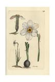 "Poet's Daffodil  Narcissus Poeticus  From Pierre Bulliard's ""Flora Parisiensis "" 1776  Paris"