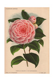 Pink Camellia Madame P De Pannemaeker