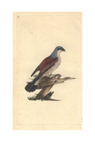 Red Backed Shrike From Edward Donovan's Natural History of British Birds  1799