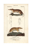 Bandicoots From Frederic Cuvier's Dictionary of Natural Science: Mammals  Paris  1816