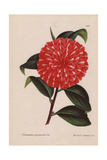 Scarlet Camellia Hybrid with White Flecks