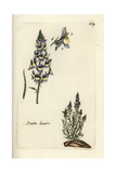 "Least Snapdragon  Antirrhinum Minus  From Pierre Bulliard's ""Flora Parisiensis "" 1776  Paris"